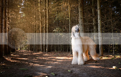 windblown blond and black longhaired dog standing in pine trees
