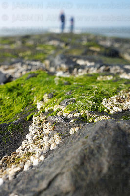 Dark rocks at the beach covered with seaweed and white crabs (seepocken) Shallow DOF, Norderney, Germany