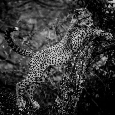 Cheetah cub tries to climb a tree © Laurent Baheux