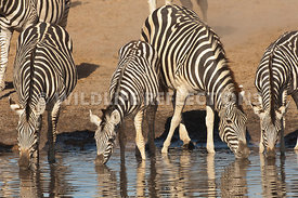Zebra Four Drinking