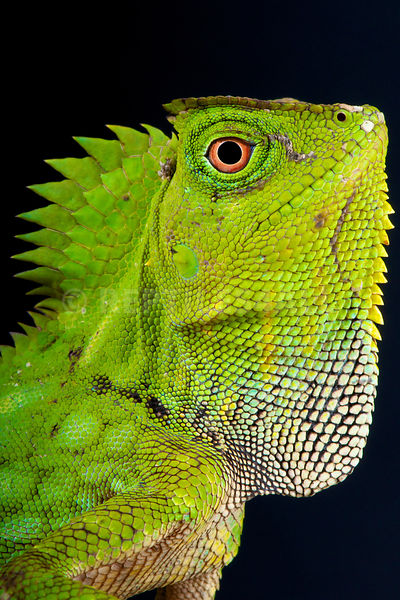 Chameleon forest dragon (Gonocephalus chamaeleontinus) photos