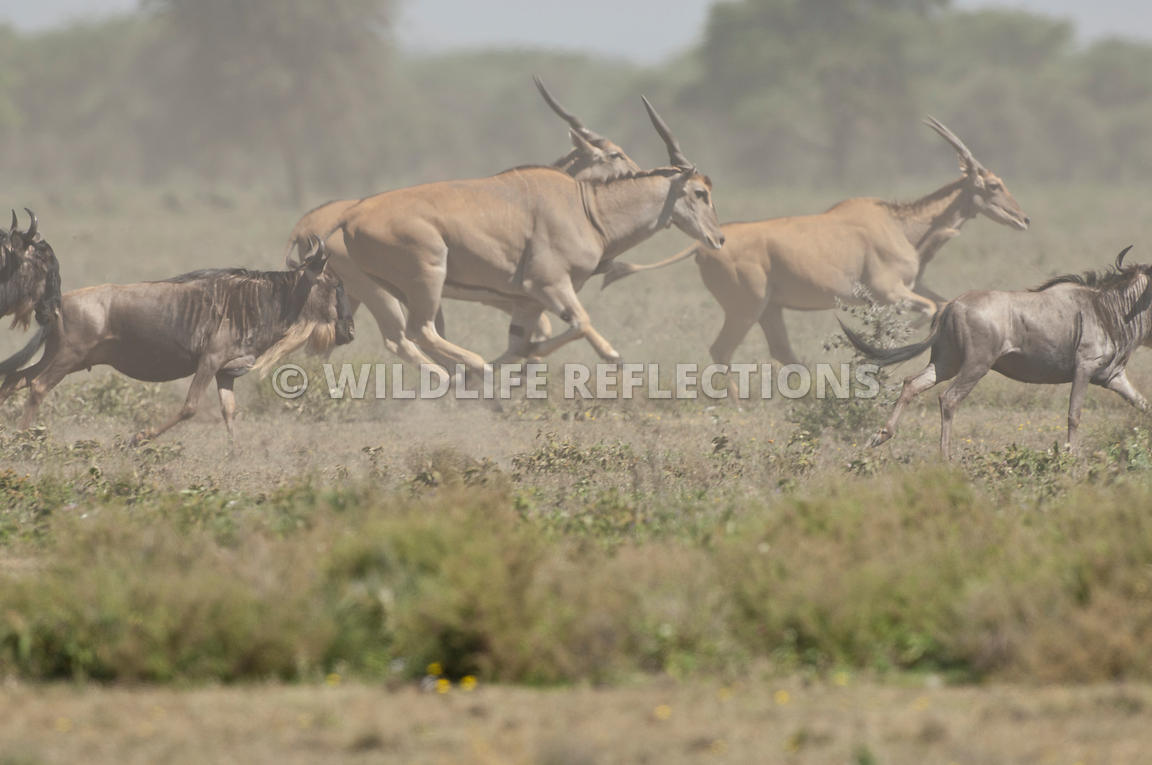 Eland and Wildebeest Stampede 7