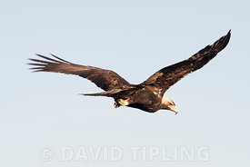 Spanish Imperial Eagle Aquila adalberti adult male approx 8 yrs old in San Pedro Sierra, Extremadura Spain December