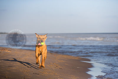 tan cross breed dog fetching bringing ball on lake shore beach