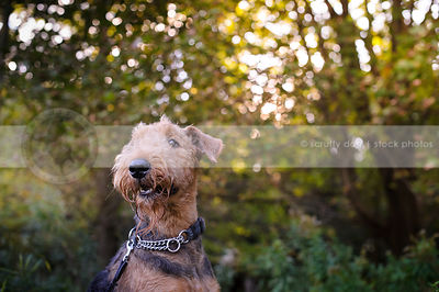 portrait of bearded black and tan dog in sparkly natural setting