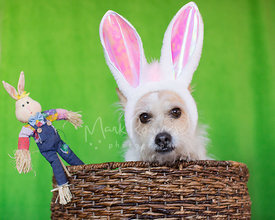 Unhappy Terrier in Easter Bunny Ears Looking from Basket