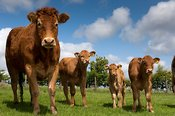 Limousin cows and calves on upland farm in Lancashire.