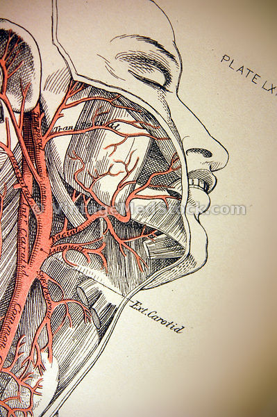 Arteries and Veins images