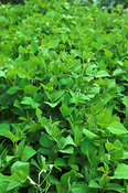 Close up of Legume crop , Kenya Africa   Sauphagom