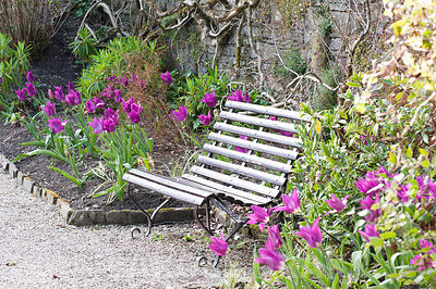 Bench surrounded by Tulipa 'Burgundy' on the east terrace. Cotehele, Cornwall, UK