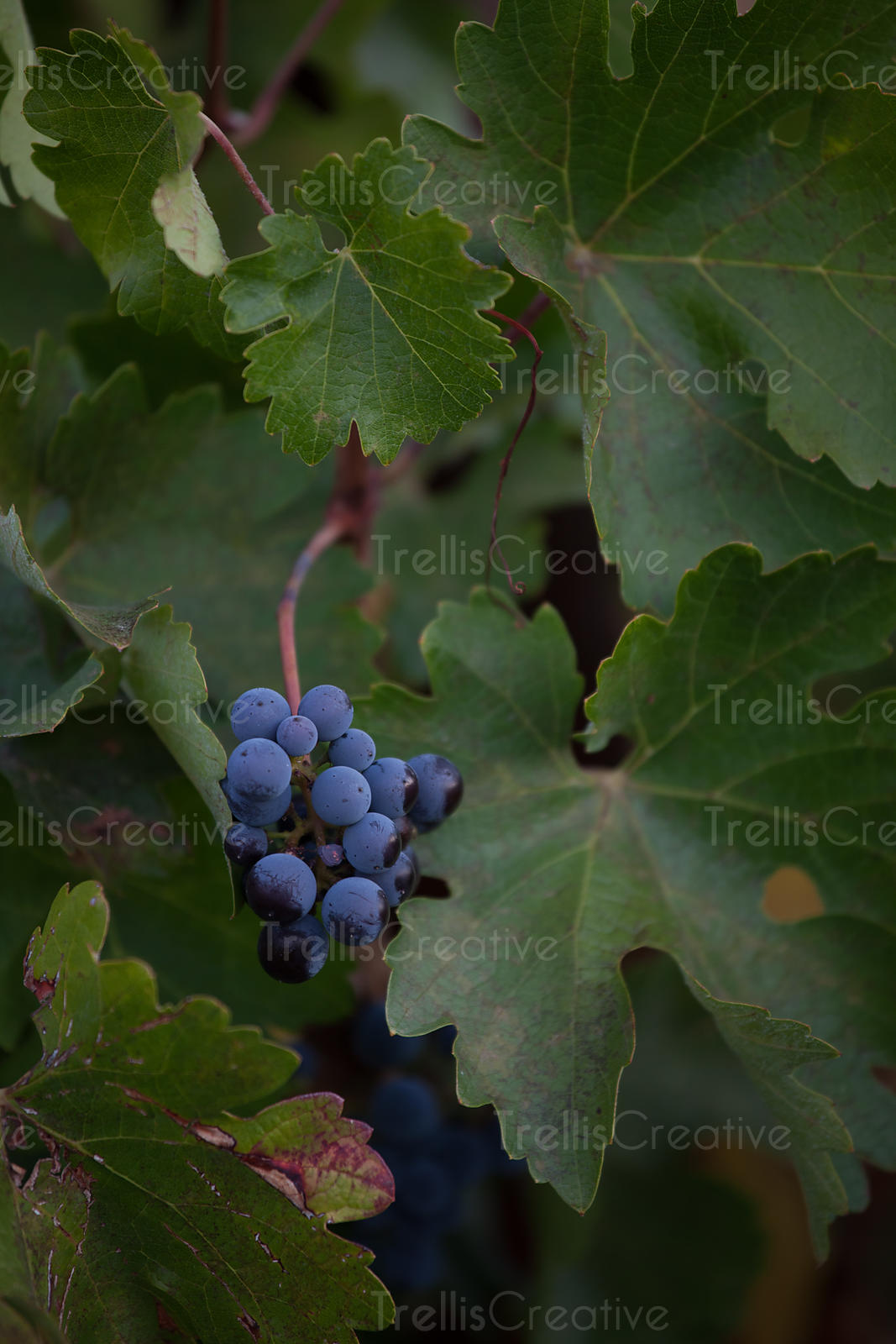close-up of black grapes ready for harvest