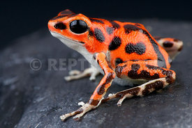 "Oophaga pumilio ""Bastimentos red"", Strawberry frog, Panama"