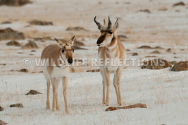 pronghorn_snow_buck_doe0120130119_