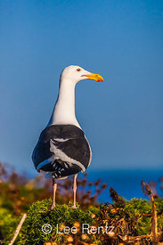 Western Gull atop Giant Coreopsis on Anacapa Island