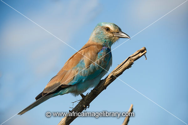 European Roller, Coracias garrulus, Kruger National Park, South Africa