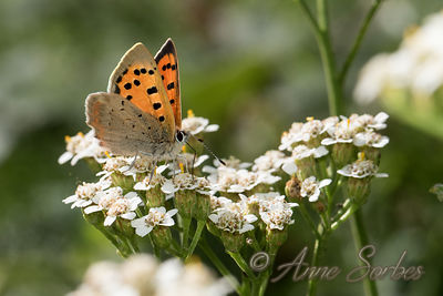 Butterflies of my wet meadow - Limousin, France. photos
