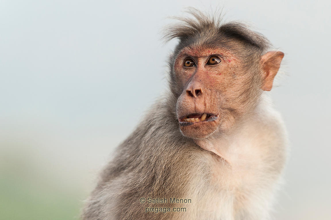 Macaque, Aalliyar Reserve Forest, Attakatti, Tamil Nadu, INDIA