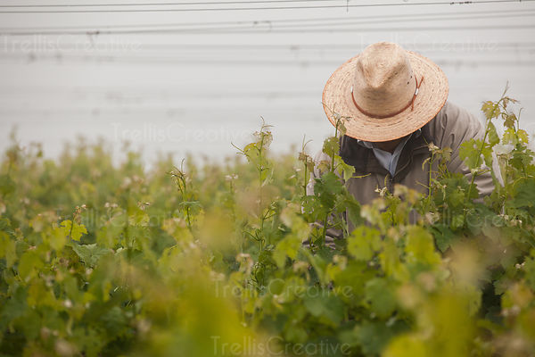 Field worker wearing hat in vineyard