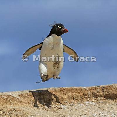 Southern Rockhopper Penguin (Eudyptes chrysocome chrysocome), Cape Coventry, Pebble Island: crop of previous image