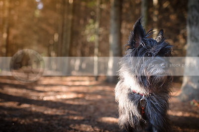 wirehaired terrier dog standing in pine forest