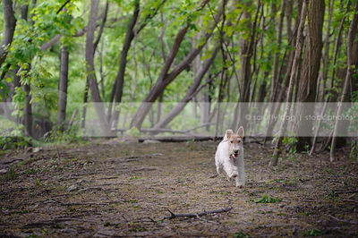 small white wirehaired dog running in clearing with trees