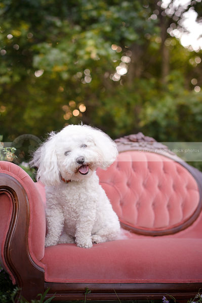 curious bichon frise on pink antique settee in flowers