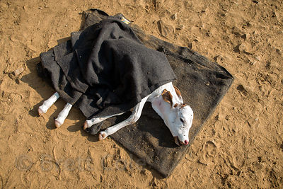 A paralyzed calf warms in the sun at the Tree of Life for Animals rescue center (tolfa.org.uk) near Pushkar, Rajasthan, India