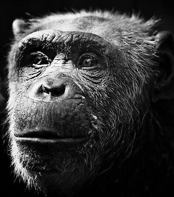 Portrait de chimpanzé © Laurent Baheux
