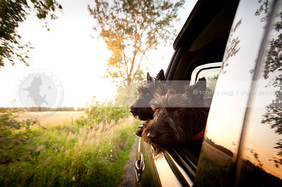 two cute black scottie dogs looking out car window at sunset
