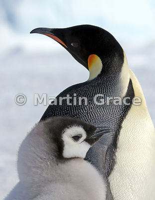 Emperor Penguin (Aptenodytes forsteri) adult and chick, by Snow Hill Island, Weddell Sea, Antarctica