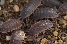 Porcellio species, at Lake Venuela, Andalusia, Spain