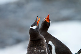 Tow gentoo penguins making noise together at the Antarctic Peninsula.