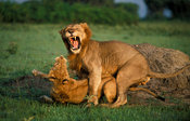 Lions (Panthera leo) mating, Queen Elizabeth National Park, Uganda