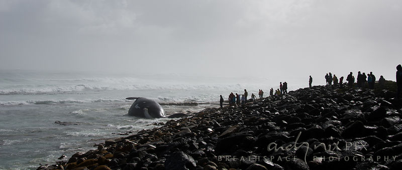 Silhouettes of people looking at dead beached whale on rocky beach