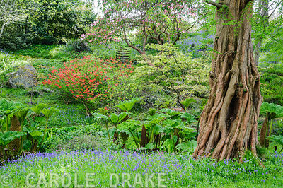 The Dell, a small wooded valley including choice trees and shrubs such as rhododendrdons, pieris and Metasequoia glyptostroboides, the dawn redwood and streams that pass between carpets of bluebells.