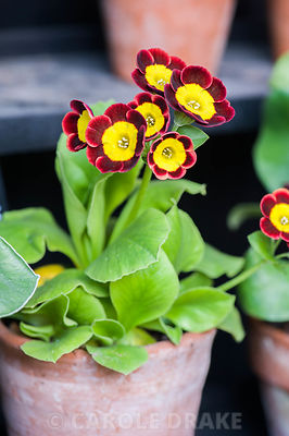 Auricula 'Amicable'. Summerdale House, Lupton, Cumbria, UK