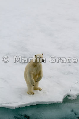 Polar Bear (Ursus maritimus) standing on hind legs on sea ice