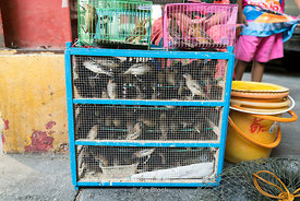 Caged birds being sold to be freed later as a part of merit making tradition.