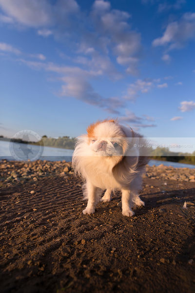 cute longhaired dog shaking hair on shore under sky with clouds