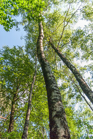High and slender growing birches