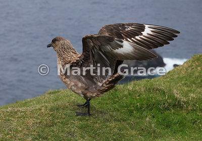 Great Skua (Bonxie) (Stercorarius skua, Catharacta skua) folding its wings after calling and displaying, Hermaness National Nature Reserve, Unst, Shetland