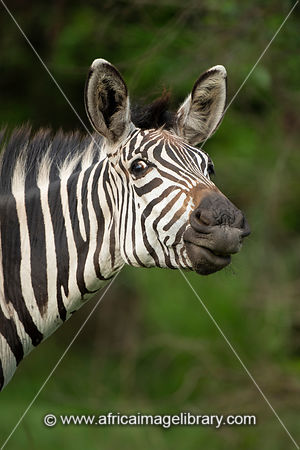 Burchell's zebra, Equus burchellii, Lake Mburo National Park, Uganda
