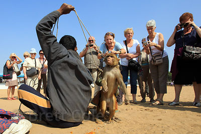Foreign tourists delightedly snap photos of a captive red macaque monkey performing at the Pushkar Camel Fair, Pushkar, Rajasthan, India