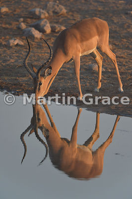 Male Black-Faced Impala (Aepyceros melampus petersi) with strong reflection as it drinks from Chudob waterhole, Etosha National Park, Namibia