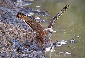 Changeable Hawk Eagle Nisaetus cirrhatus hunting frogs Ranthambore Northern India winter