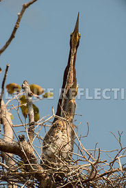 tiger_heron_nest-2