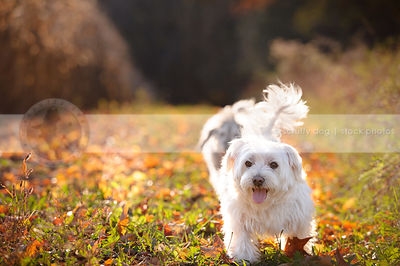 little white dog walking to camera in autumn setting