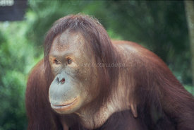 Orangutans and Chimpanzees at the Singapore Zoo