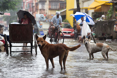 Street dogs in monsoon flooding, Lake Gardens, Kolkata, India. Taken during the heaviest rains in Kolkata in a decade.