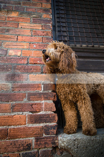red scruffy curly haired dog on doorsill of door at urban brick wall